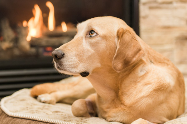 © Elska Productions | Yellow Lab by fire, in loving memory portraits