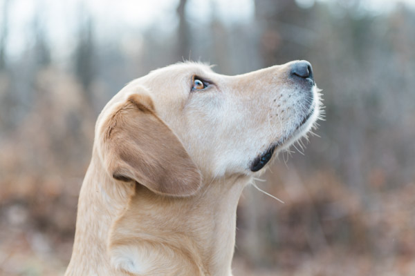 © Elska Productions | Yellow Labrador Retriever, lifestyle dog photography