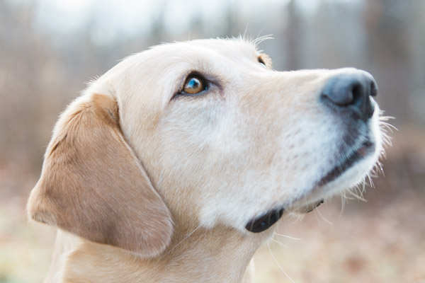 © Elska Productions | Yellow Labrador Retriever with cancer