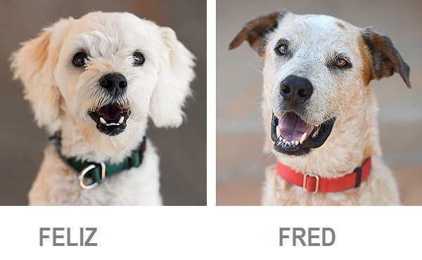 Feliz-adoptable-Poodle, Fred-adoptable-cattledog-heeler-Best Friends Animal Society