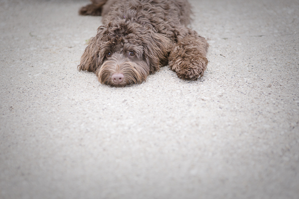 chocolate mini Labradoodle, on location dog photography, shaggy dog