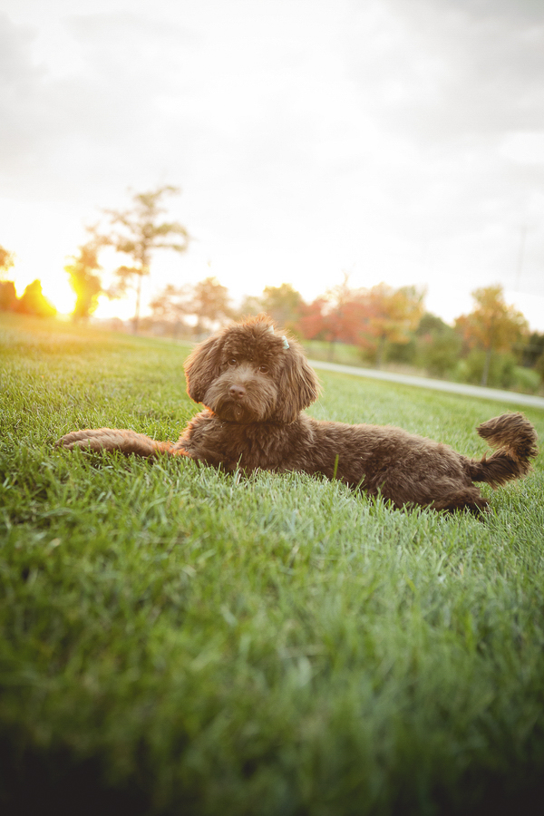 Mini Labradoodle, dog photography