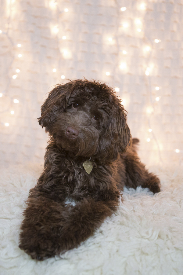 Mini Labradoodle, studio dog portraits