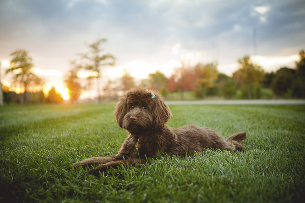 Mini Labradoodle lying on grass at sunset