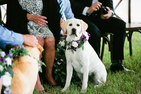Loree Photography-Wedding Dogs-Yellow Lab, floral collar