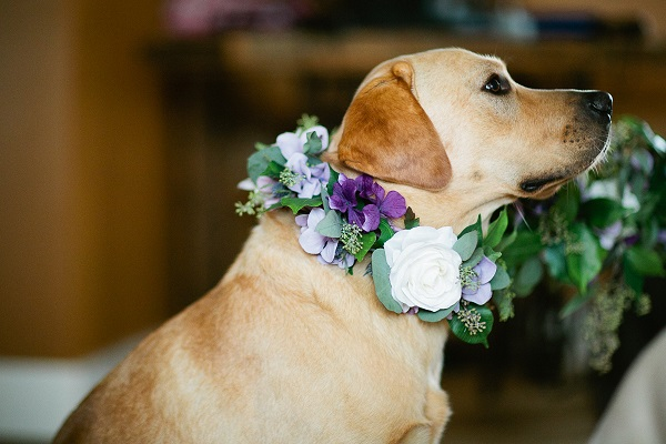 © Loree Photography -Wedding Dogs-handsome-Yellow Lab- floral collar