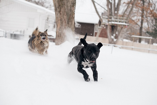 Melissa Sigler Photography-dogs playing snow