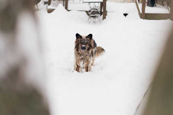 Melissa Sigler Photography-dog snow day, GSD mix in snow