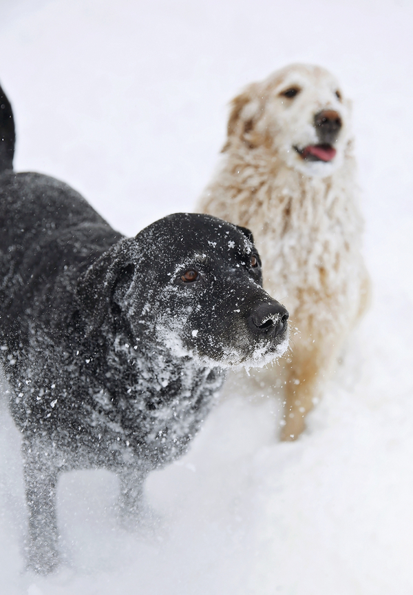dynamic dog duo, snowday, big dogs in snow © Seraphim Fire Photography