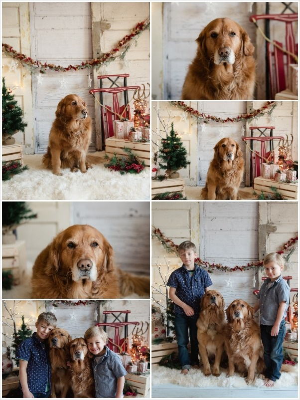 Golden Retriever Christmas photo, studio photography, kids and dogs