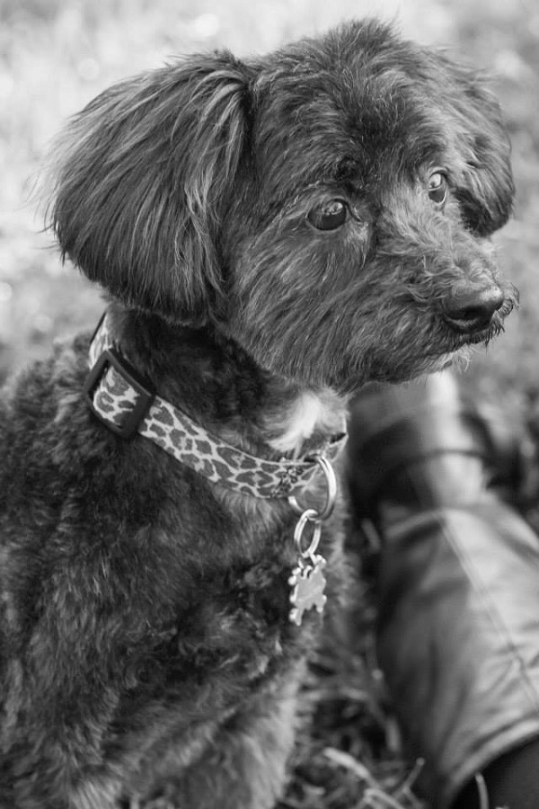 Summer Rae Photography-black white dog photography, Havanese Poodle mix