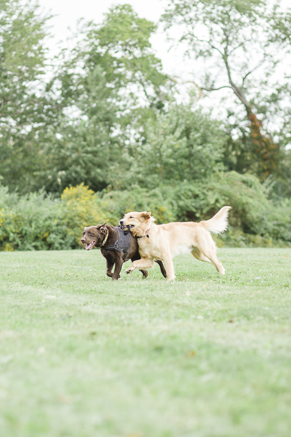 Chocolate Lab, Golden Retriever playing in park, on location pet photography