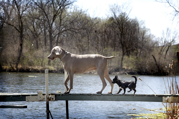 Dog best friends on dock, black Chihuahua and Weimaraner on dock