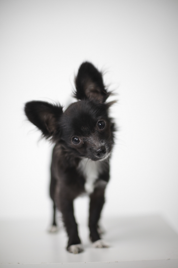 long haired Chihuahua, black white dog portraits