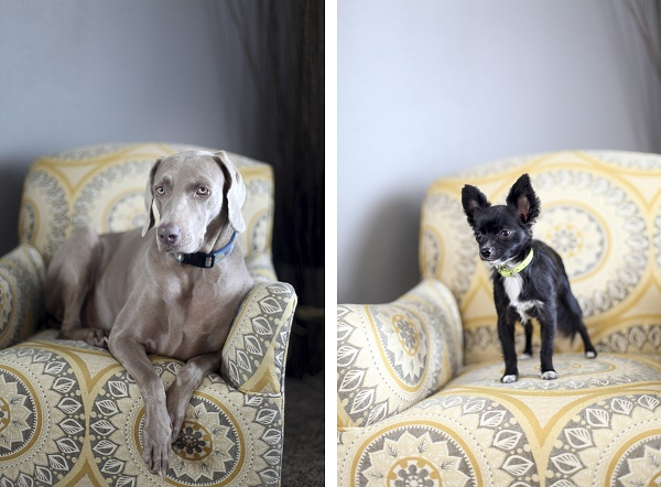 dogs on furniture, Weimaraner and long haired Chihuahua