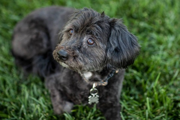 Poodle Havanese mix, lifestyle dog photography