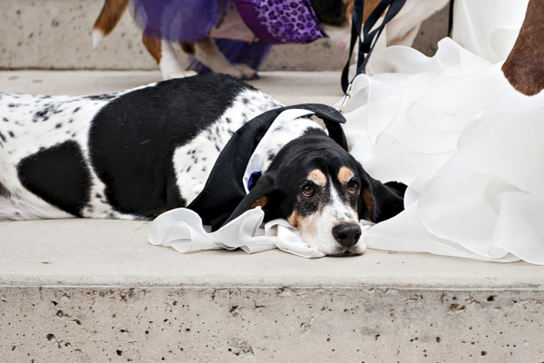 © Jessica Newberry Photography | Basset Hound lying on wedding dress