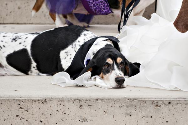 © Jessica Newberry Photography | Basset Hound lying on wedding dress