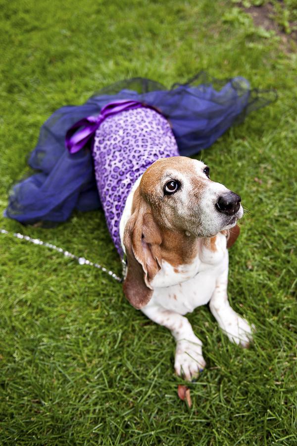 Basset Hound bridesmaid, wedding dogs