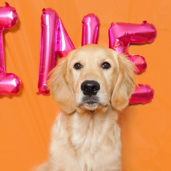 Golden Retriever puppy love, Valentine's Day puppy pictures