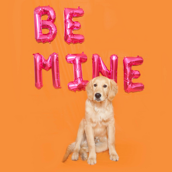 6 month old Golden Retriever puppy, Be Mine balloon letters, studio dog photography