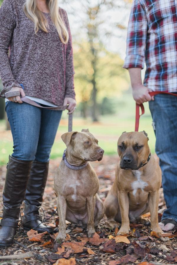 autumn dog portraits, Pit bulls in park