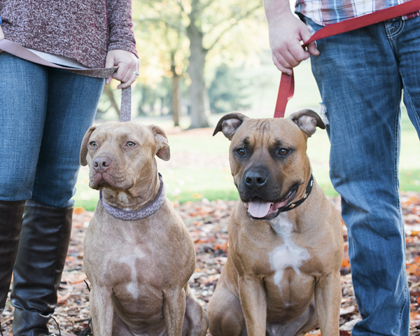 Pit bulls in park, family photos with dogs