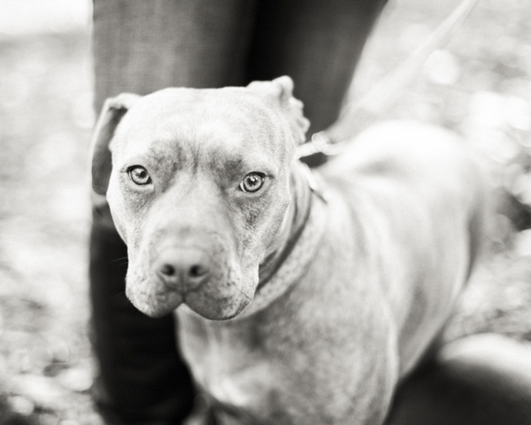red nosed Pit bull, black white dog portrait