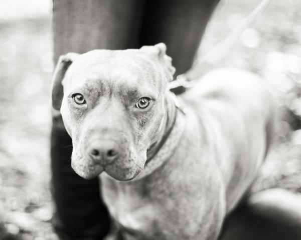 red nosed Pit bull, black white dog portrait