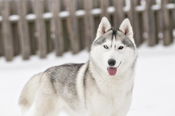 lovely Silver Siberian Husky portrait