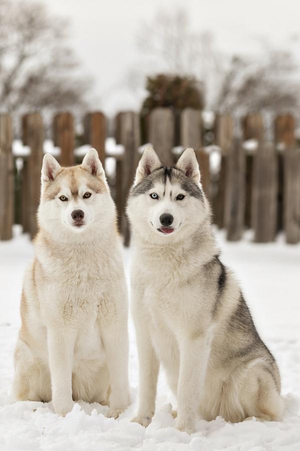red Siberian Husky, silver Siberian Husky in snow