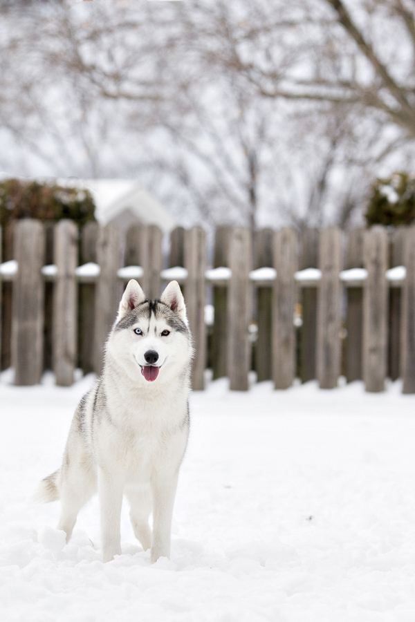 Silver SIberian Husky in snow, on location dog photography