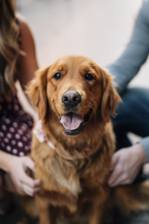 Golden Retriever close up, engagement photos with dog, Boise