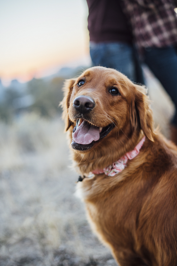 engagement pictures with Golden Retriever wearing coral collar