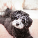 Maltipoo on coral bedspread, on location dog photographer