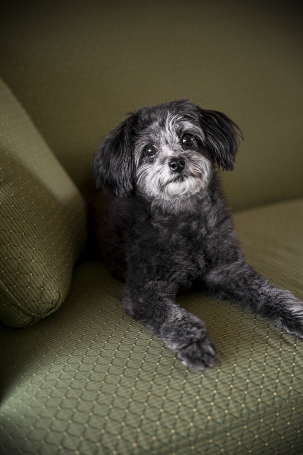 black Maltipoo with white face on green sofa,