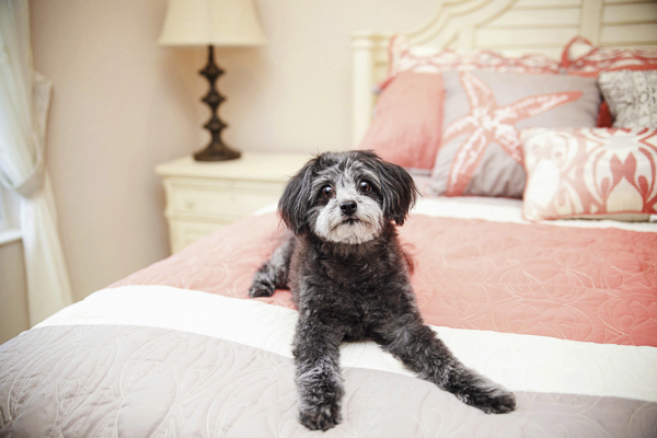 small poodle mix on bed, lifestyle dog portraits
