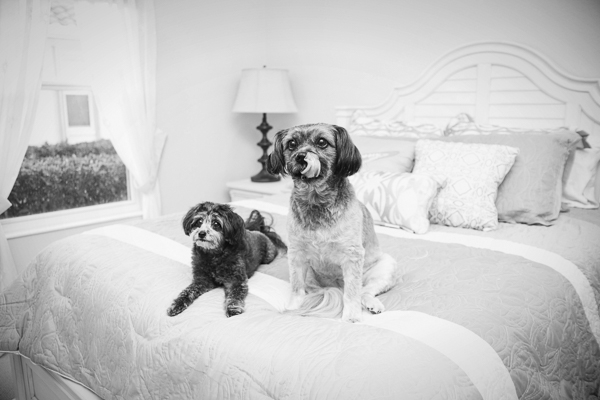© Jessica Cobb Pet Photography | small dogs on the bed, dog with tongue out