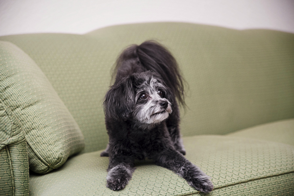small black/white dog play bowing on green sofa
