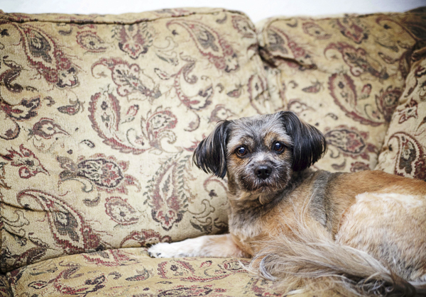small brown dog lying on paisley sofa
