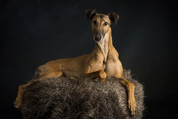 Angel Sallade, Sighthound Project, studio dog photography