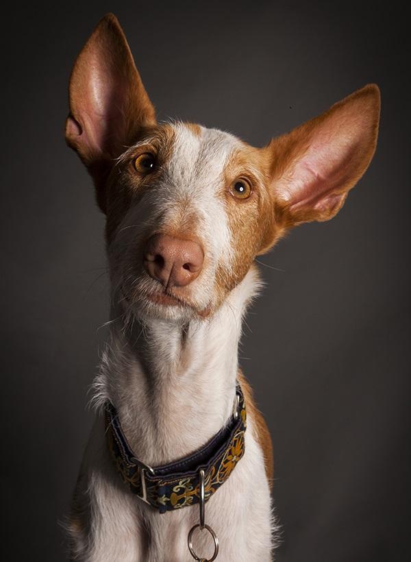Ibizan studio dog portraits by Angel Sallade Sighthound Project