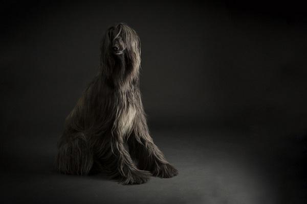 beautiful dark Afghan on dark background - studio dog photographer