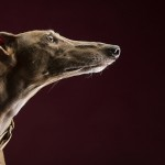 © Angel Sallade Photography | The Sighthound Project