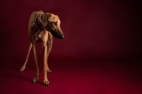 Sloughi- Angel Sallade Sighthound Project