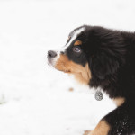 Bernese Mountain Dog--34