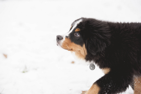 adorable Bernese Mountain Dog puppy in snow