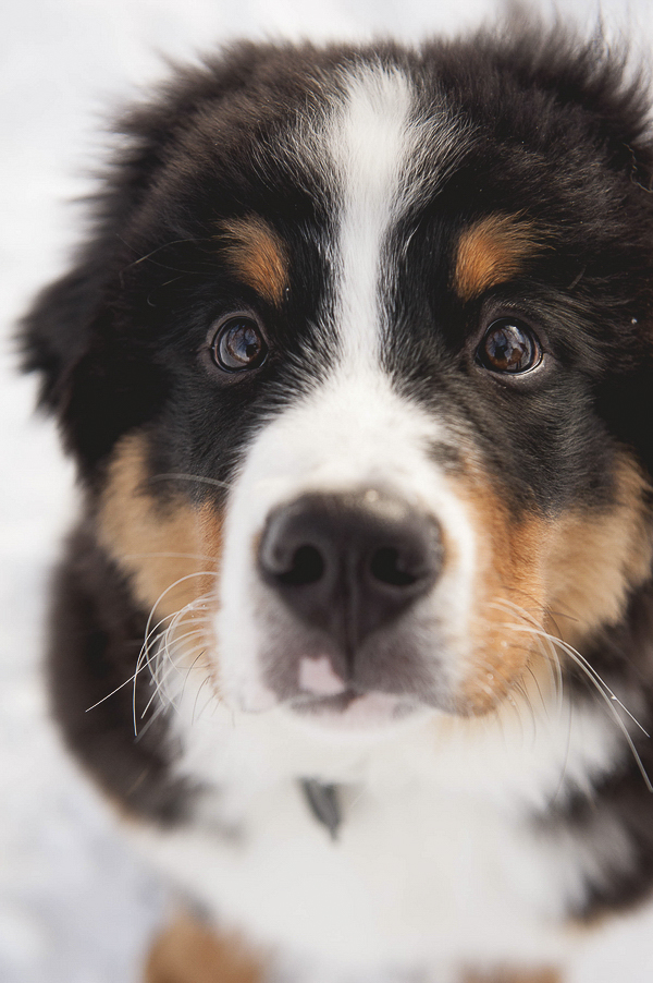 Bernese Mountain puppy-close up, dogs with eyebrows