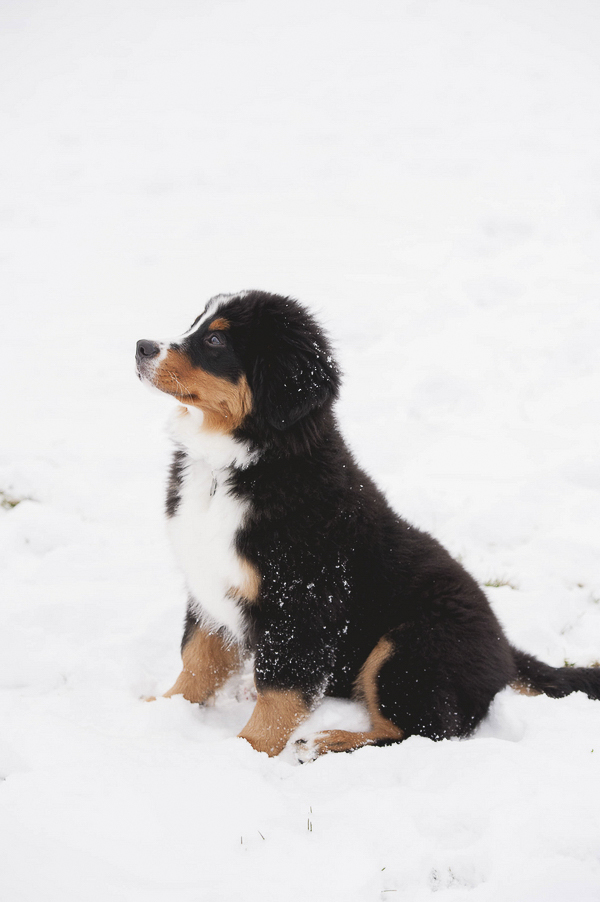 Bernese Mountain Dog puppy sitting in snow, lifestyle dog photography