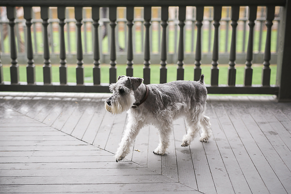 © Courtney Sargent Photography | Schnauzer walking on porch, wet paw prints